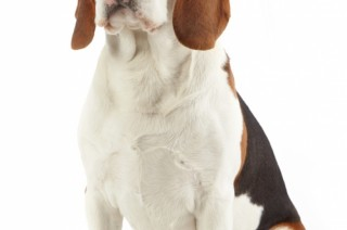 Des renseignements intéressants avant d'adopter mon beagle